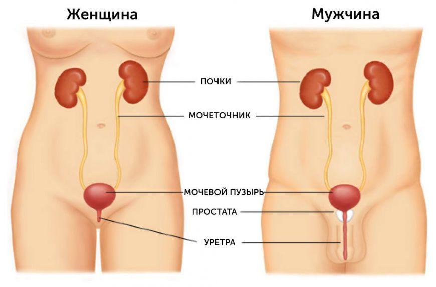 мочевыделительная система у мужчины и женщины, схема
